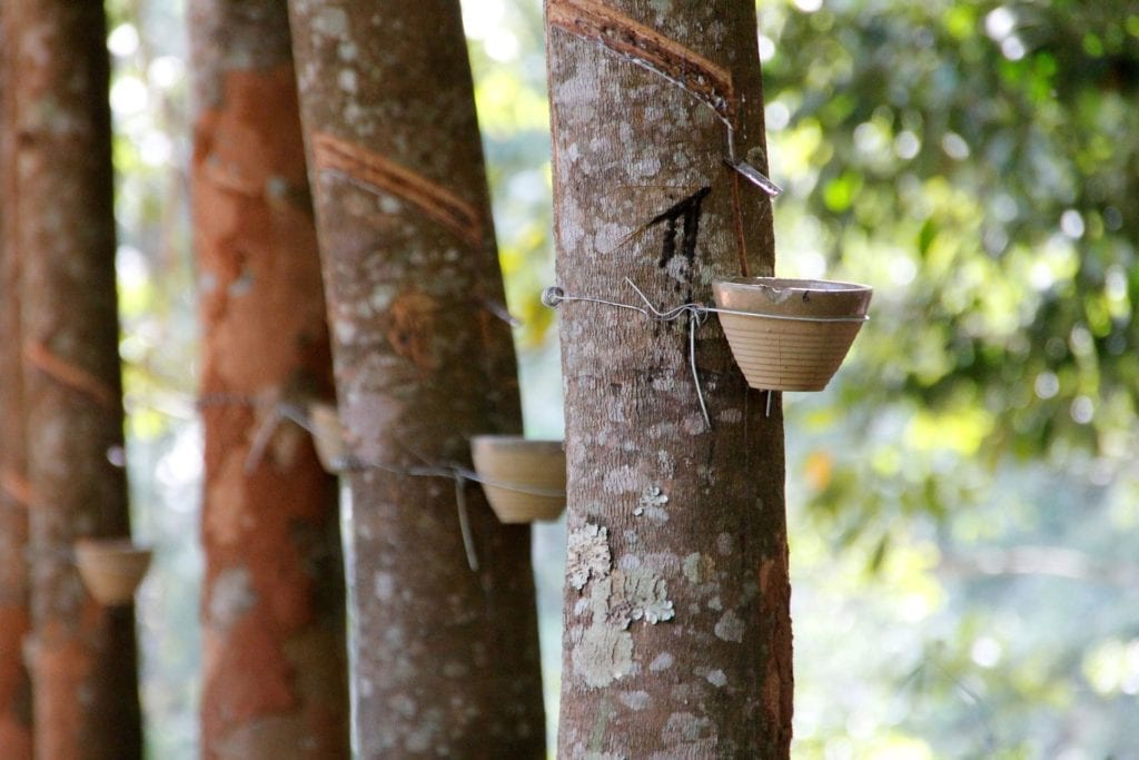 harvesting latex from rubber trees to make natural and organic latex
